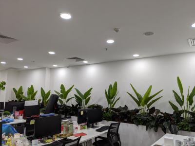 Phú Quý - Một trong những cây được ưa chuộng nhất trong trang trí nội thất