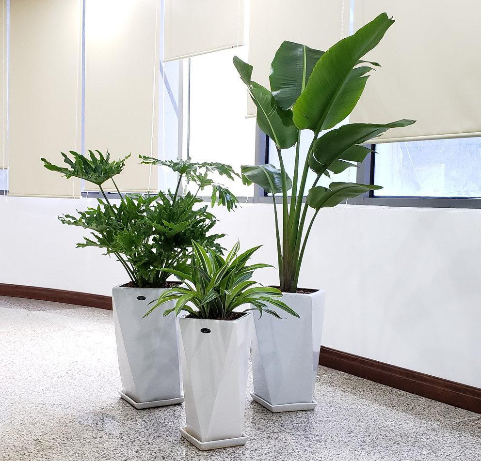 Một số vấn đề cần lưu ý đối với các loại hoa, cây cảnh trồng chậu đặt trong nhà