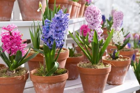 Những loại cây, hoa phá tan phong thủy, gia chủ không nên đặt trong nhà