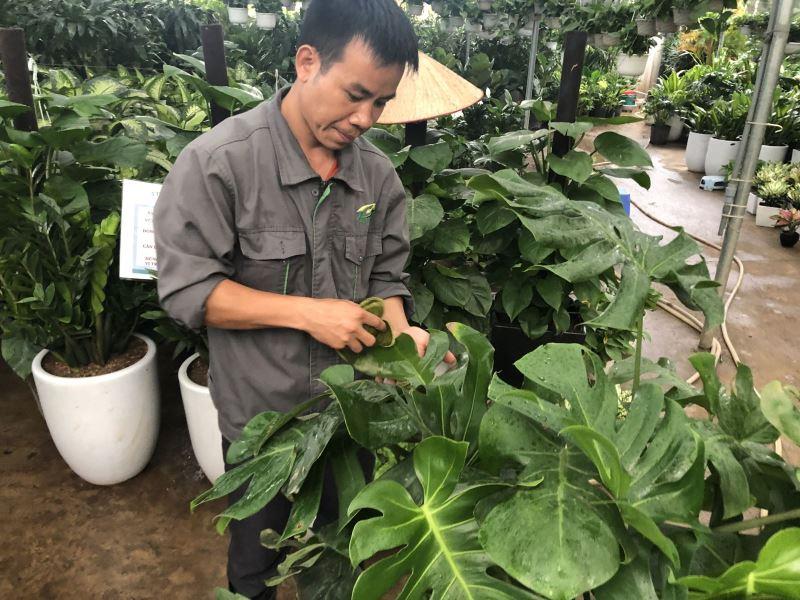 Hướng dẫn kỹ thuật chăm sóc Hoa lan hồ điệp hậu Tết Nguyên Đán