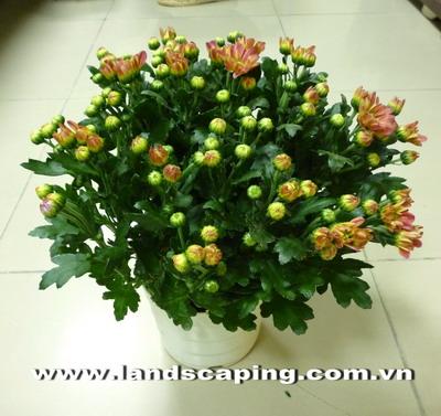 Hoa-cuc-vang-sam
