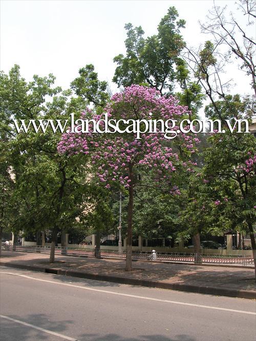 cây cảnh đẹp | cay-bang-lang-nuoc