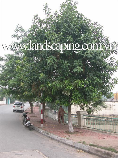 cây cảnh   da-tron