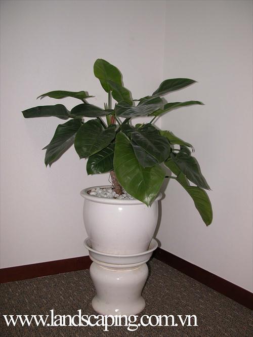 cây cảnh   dai-de