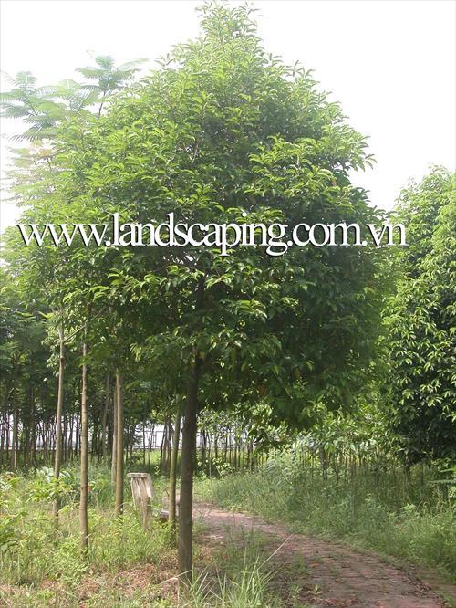 cây cảnh | cây viet