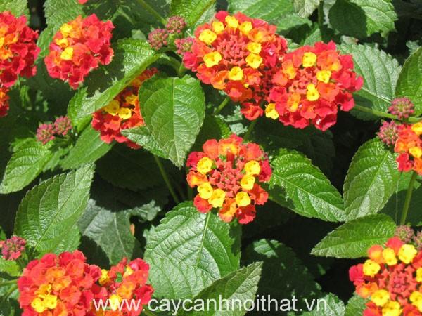 cây cảnh đẹp | hoa ngũ sắc