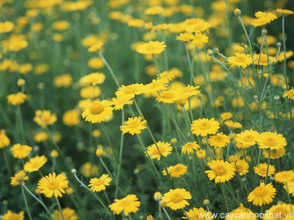 hoa cây cảnh | hoa cúc