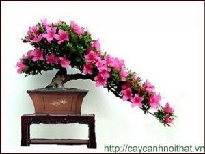 hoa cây cảnh | đỗ quyên