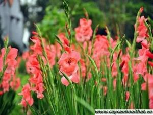 hoa cây cảnh | hoa lay ơn