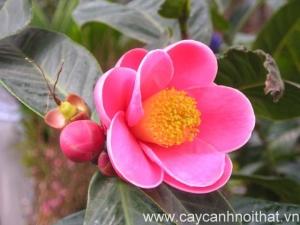 cây cảnh trồng trong nhà | hoa hải đường