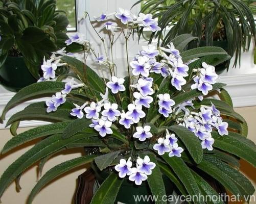 hoa cây c?nh Streptocarpus